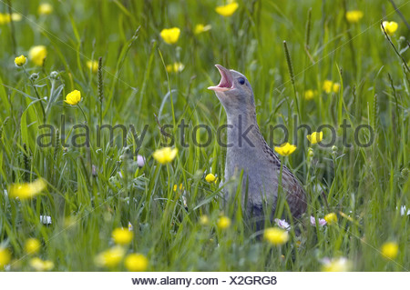 Corncrake (Crex crex) adult, calling, in meadow, North Uist, Outer Hebrides, Scotland - Stock Photo