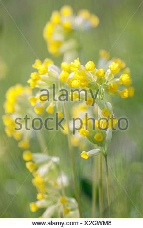 Primula veris, Cowslip, Yellow, Green. - Stock Photo