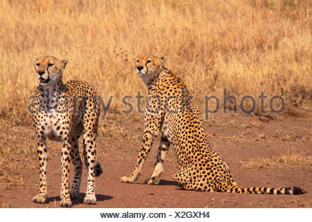 cheetah (Acinonyx jubatus), in the feed, Tanzania, Serengeti National Park - Stock Photo