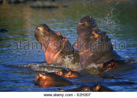 HIPPOPOTAMUS hippopotamus amphibius, PAIR FIGHTING IN WATER, MASAI MARA PARK IN KENYA - Stock Photo