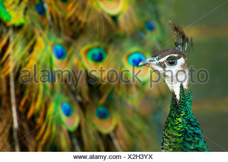 Common peafowl, Indian peafowl, blue peafowl (Pavo cristatus), peahen in front of gorgeous tail feather, portrait, Germany, North Rhine-Westphalia - Stock Photo