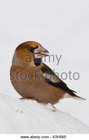 hawfinch (Coccothraustes coccothraustes), feeding on grains at a feeding site, Germany - Stock Photo
