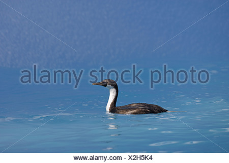 South Georgia Shag (Phalacrocorax georgianus) immature, swimming in blue water reflected from iceberg, Southern Atlantic Ocean, - Stock Photo