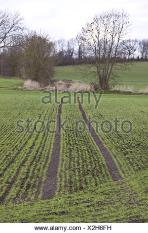 Spring sown wheat with tractor tramlines - Stock Photo
