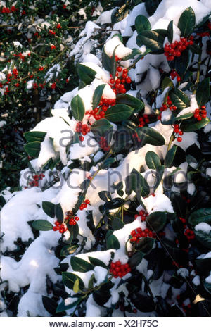 Close-up of a snow covered holly bush - Stock Photo