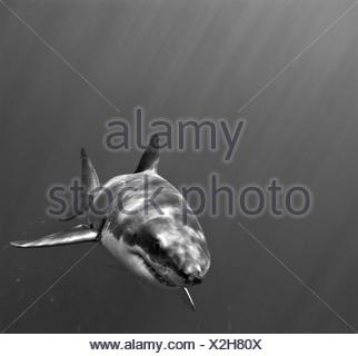 Portrait of a great white shark, Carcharodon carcharias, swimming. - Stock Photo