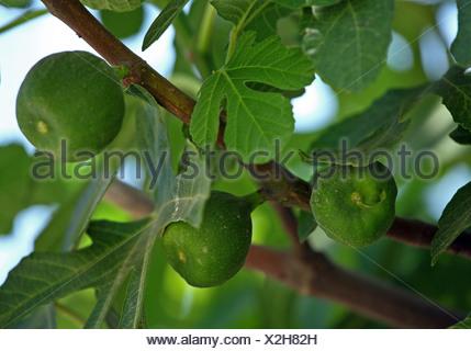Close-up of organic papayas on tree - Stock Photo
