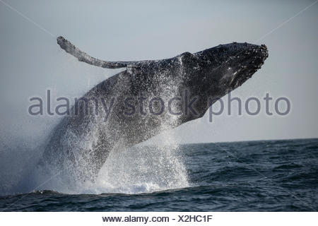 A humpback whale breaches in the warm waters of Monterey Bay, California. - Stock Photo