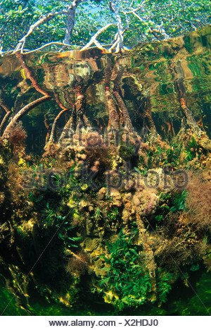 Red Mangrove roots hosting a large variety of algae Everglades National Park Florida USA - Stock Photo
