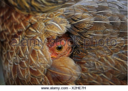 domestic fowl (Gallus gallus f. domestica), chick peering from the plumage of its mother, Honduras - Stock Photo