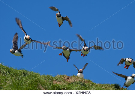 Atlantic puffin, Common puffin (Fratercula arctica), starting from a bird rock - Stock Photo