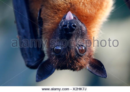 Indian Flying Fox, (Pteropus giganteus), captive - Stock Photo
