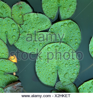 White water lily Nymphaea alba leaves with rain water droplets on the surface of a pond - Stock Photo