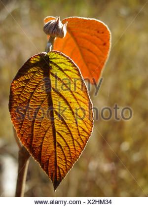 Leaf of a Wayfaring Tree (Viburnum lantana), Bavaria, Germany, Europe - Stock Photo