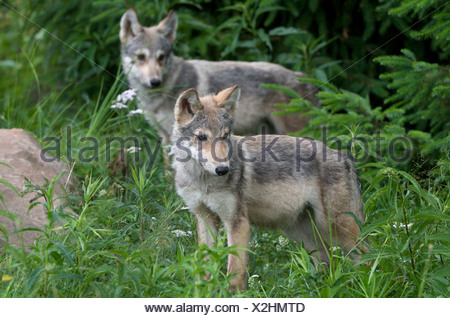 Wolf Pups (Canus lupus) in Boundary Waters Canoe Area, Minnesota, U.S.A, North America - Stock Photo