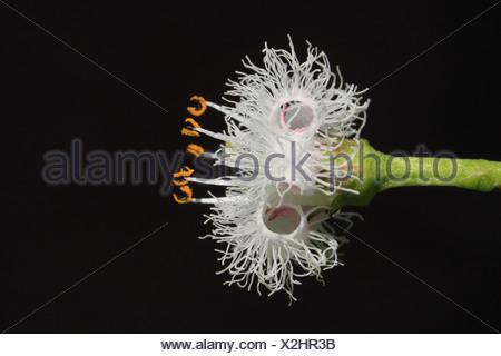 close-up zijaanzicht van jonge bloem met nog teruggekrulde kroonslippen - Stock Photo
