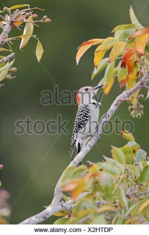 Red-bellied Woodpecker (Melanerpes carolinus), female, Everglades National Park, Florida, United States - Stock Photo