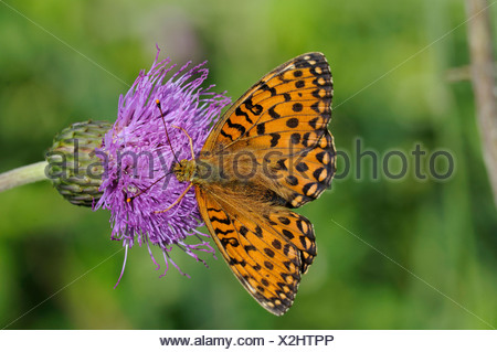 Dark green Fritillary, Argynnis aglaia, Graubunden, Grisons, Switzerland, Europe, insects, butterflies - Stock Photo