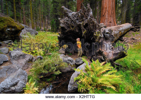 Woman standing in front of the huge roots of a Giant Sequoia (Sequoiadendron giganteum), Sequoia National Park, California, USA - Stock Photo