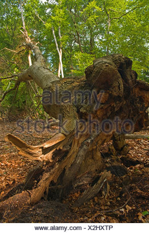Uprooted tree, - Stock Photo