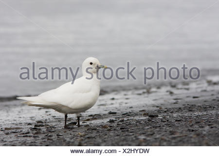 An Ivory Gull (Pagophila eburnea) on the beach - Stock Photo