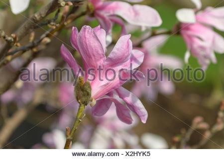 Loebner's Magnolie, Loebners Magnolie, Leonard Messel (Magnolia x loebneri 'Leonard Messel', Magnolia x loebneri Leonard Messel) - Stock Photo