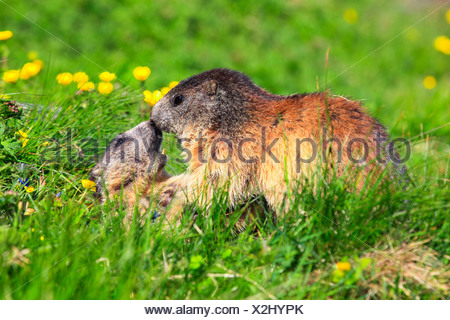 alpine marmot (Marmota marmota), strength competition of two animals in a mountain meadow, Austria, Hohe Tauern National Park - Stock Photo