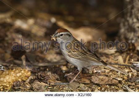 Male Chipping Sparrow, Spizella passerina, beak full of bugs to feed young in nest, Warman, Saskatchewan, Canada - Stock Photo