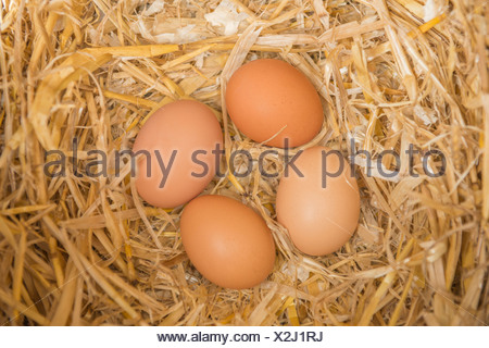 Freshly laid chicken eggs in a laying box - Stock Photo