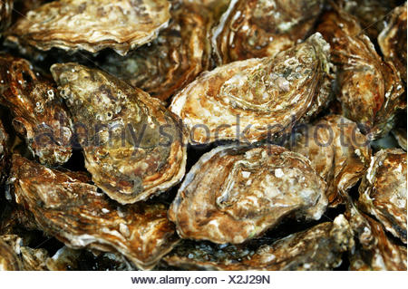 French Oyster, Fine de Claire, ostrea edulis - Stock Photo