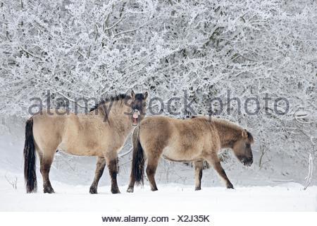 Konik-Pferde / Konik-Horses - Stock Photo