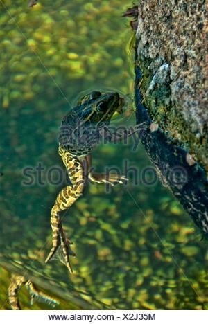lowland leopard frog, rana yavapaiensis, frog, animal, USA, United States, America - Stock Photo