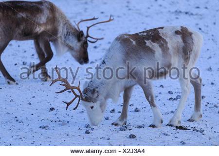 Reindeer grazing. Riskgransen, Norbottens Ian, Lapland, Sweden,Europe - Stock Photo