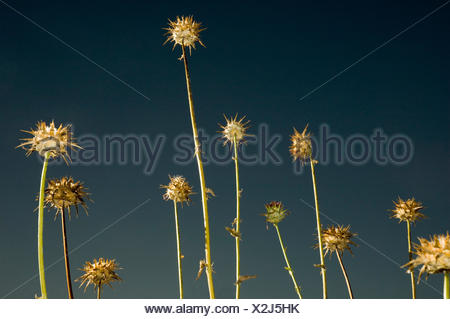 Thistles against an evening sky. - Stock Photo