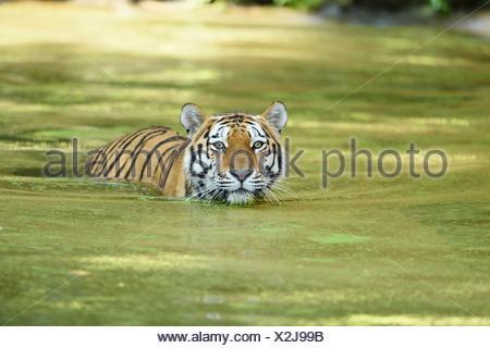 Siberian tiger in water - Stock Photo