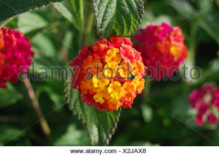Lantana Camara Flowers In Park - Stock Photo