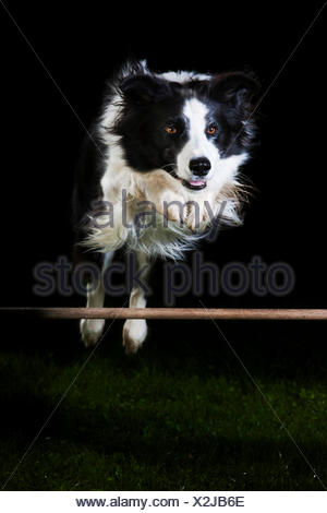 Border Collie, black and white, jumping over an obstacle - Stock Photo