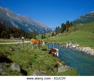 Cows on an alpine pasture, Hintereggalm, Krimmler Ache, Krimmler Achental, Pinzgau, Nationalpark Hohe Tauern, Salzburg State - Stock Photo