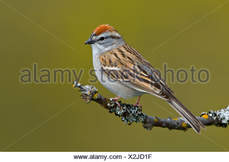 Chipping sparrow (Spizella passerina) on perch at Mount Tolmie Park, Saanich, British Columbia, Canada - Stock Photo
