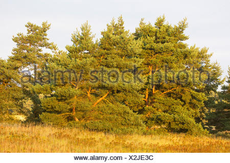 Scotch pine, Scots pine (Pinus sylvestris), in a meadow, Germany - Stock Photo