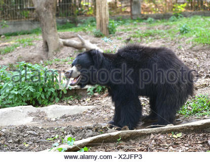 sloth bear or Melursus ursinus in zoo - Stock Photo