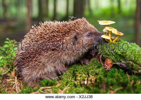 Western hedgehog, European hedgehog (Erinaceus europaeus), hedgehog searching food on the forest, Switzerland, Sankt Gallen - Stock Photo