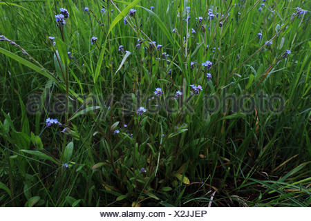 Field forget-me-not, Myosotis arvensis - Stock Photo