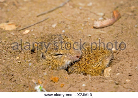 European ground squirrel, European suslik, European souslik (Citellus citellus, Spermophilus citellus), two pups looking out of the den, Germany - Stock Photo