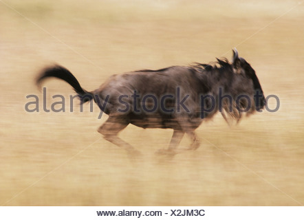 Masai Mara Reserve Kenya Blue wildebeest runs Connochaetes taurinus Kenya - Stock Photo