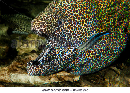 Honeycomb Moray Eel, gymnothorax favagineus, Adult with Open Mouth, with a Bluestreak Cleaner Wrasse, labroides dimidiatus, South Africa - Stock Photo