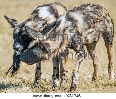 Two spotted hyenas feeding, South Africa - Stock Photo