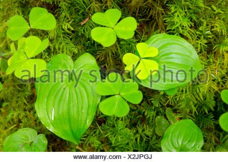 Oxalis and wild lily of the valley along Horse Creek Trail, Drift Creek Wilderness, Siuslaw National Forest, Oregon. - Stock Photo
