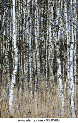 Birch-tree Betulaceae forest trunks details forest preserve moorland nature reserve Federsee Baden-Württemberg Germany - Stock Photo