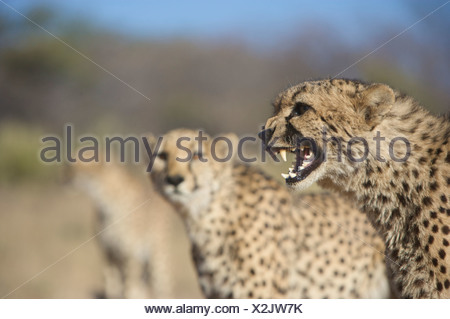 Cheetah (Acinonyx Jubatus) snarling with others in background, Namibia - Stock Photo